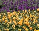 Mini viooltjes