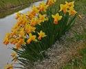 Narcis jetfire