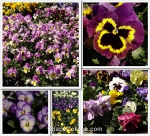 Collage voorjaar violen