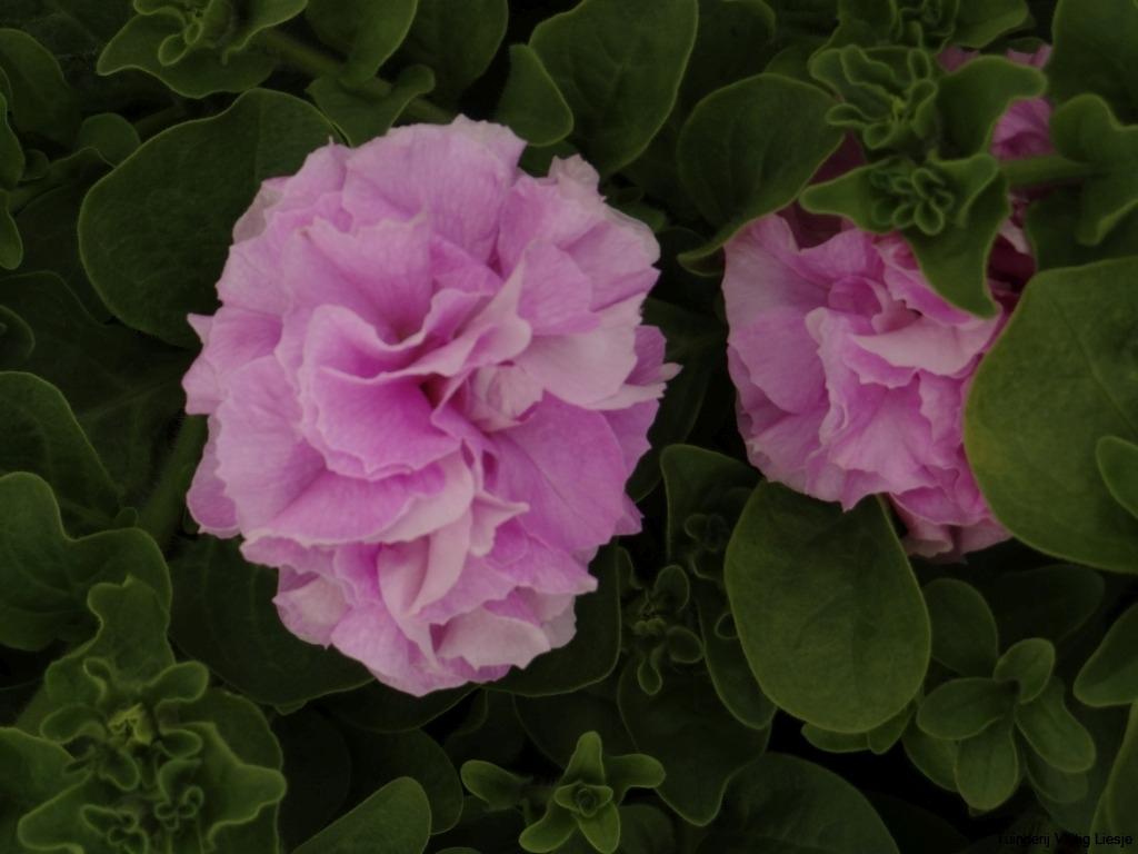 Dubbele Petunia
